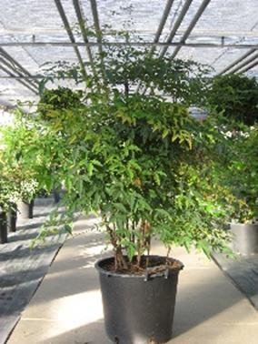 Heiliger Bambus